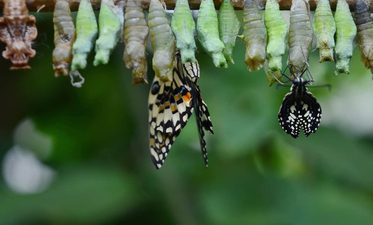 Butterflies emerging out of their cocoons