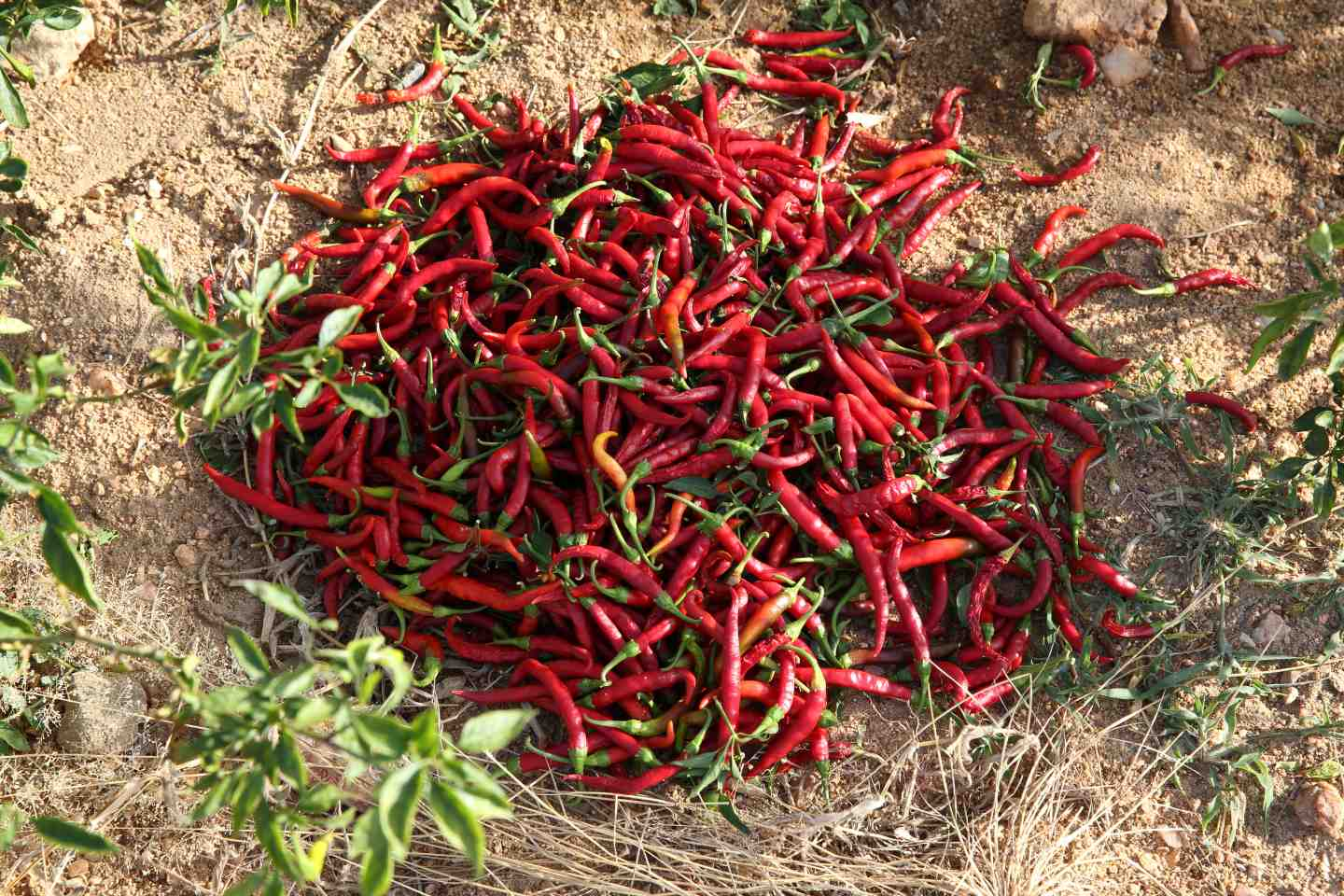 A pile of chilli on the ground_ASwaminathan_agriculture