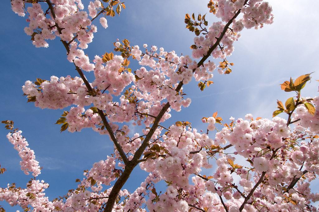Cherry-blossoms_Haiku_Flickr