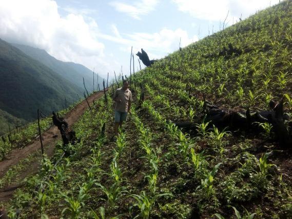 Maize field Nagaland