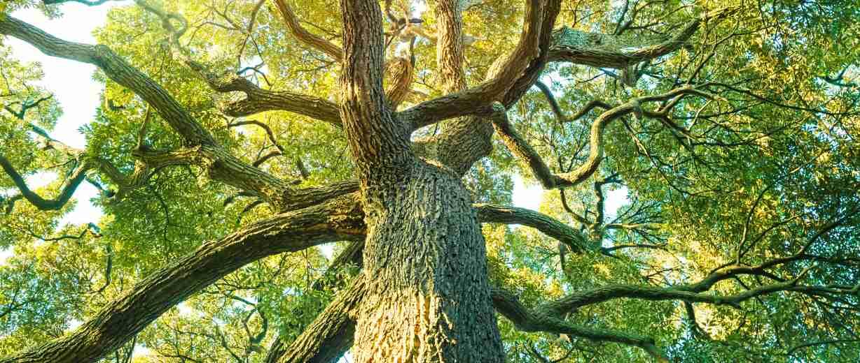 Tree_Skoll