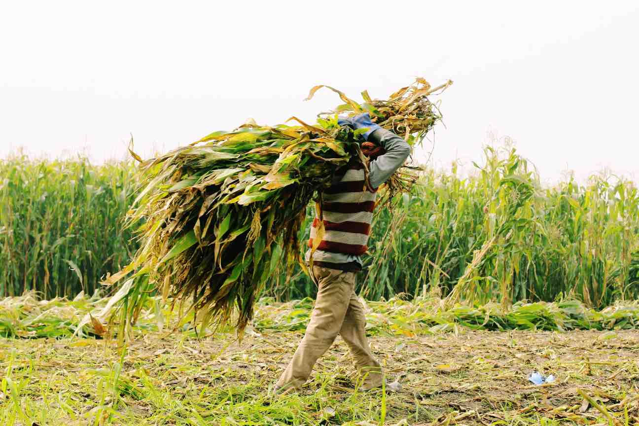 farmer carrying a bundle of maize on his head-agriculture