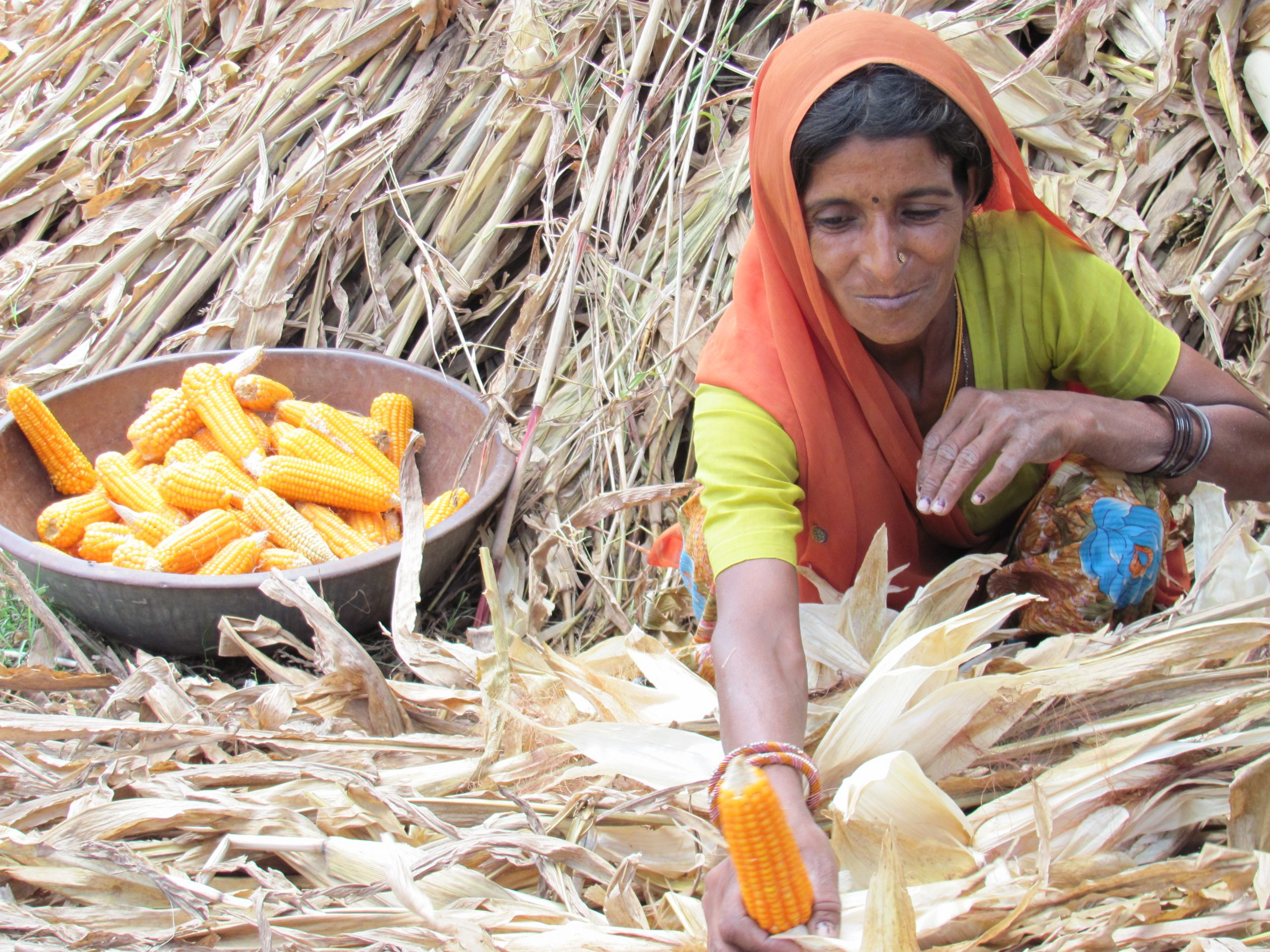 woman collecting corn, Tonk district, Rajasthan