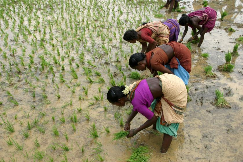 women labourers transplanting paddy