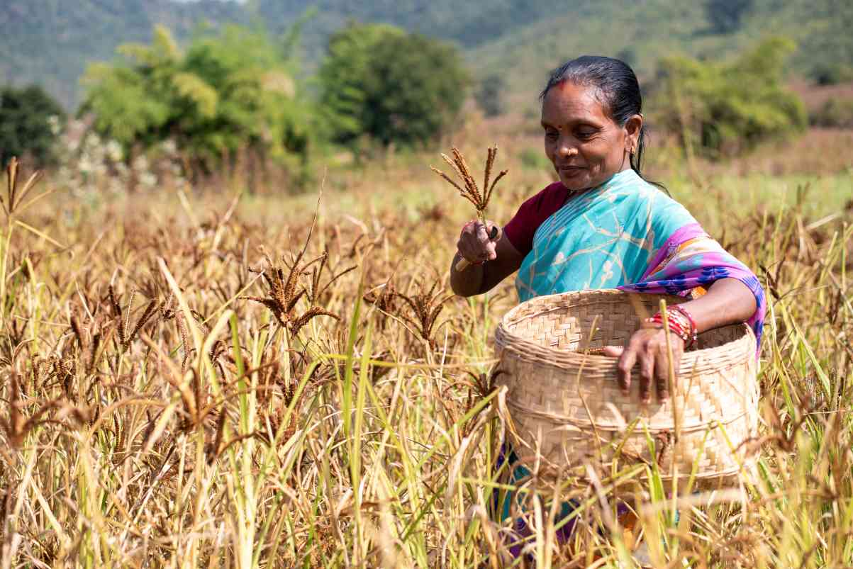 Woman harvesting wheat in farmland_farmers