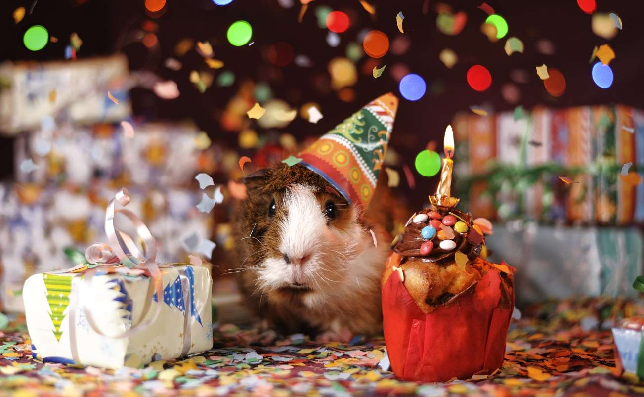 Guinea pig wearing a party hat next to gifts