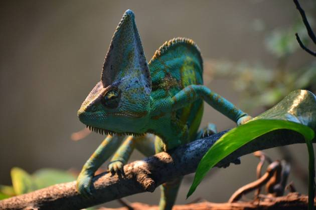 A chameleon on a branch-COVID-19