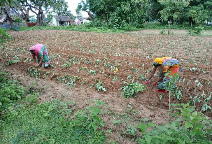Two women working in a sweet potato field-returning migrant workers