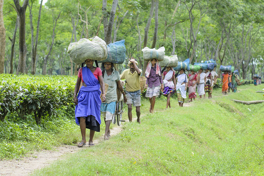 Women walking in Assam tea plantation