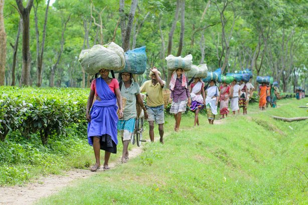 Women workers walking at an Assam tea plantations
