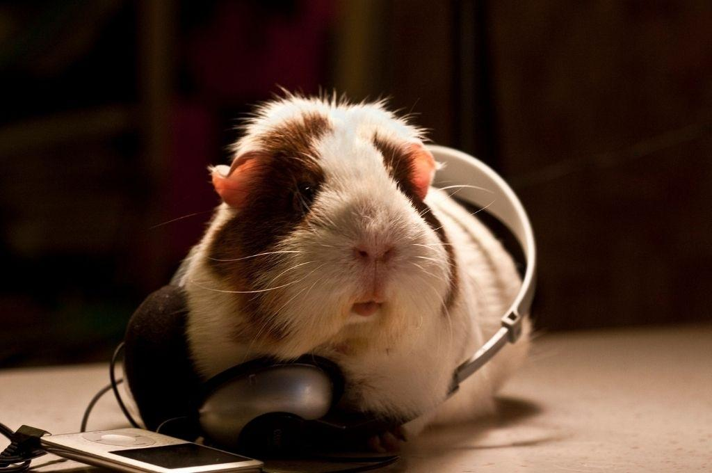 a hamster with headphones wrapped around its torso-work week playlist